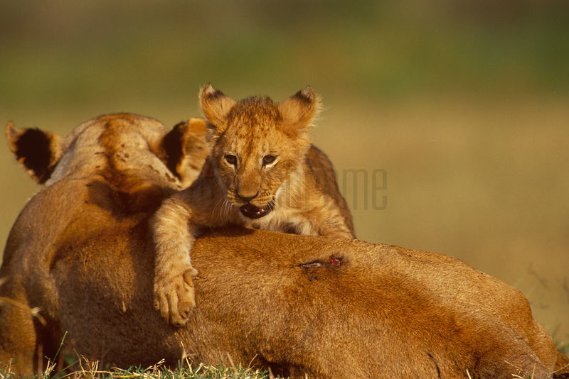 Lion Cub Playing on Mother's Back