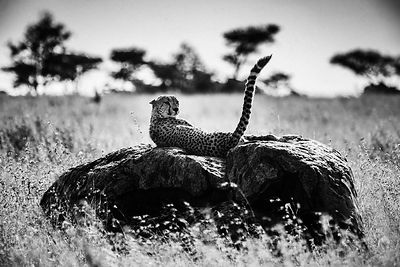 00823-Cheetah_on_a_rock_Tanzania_2018_Laurent_Baheux