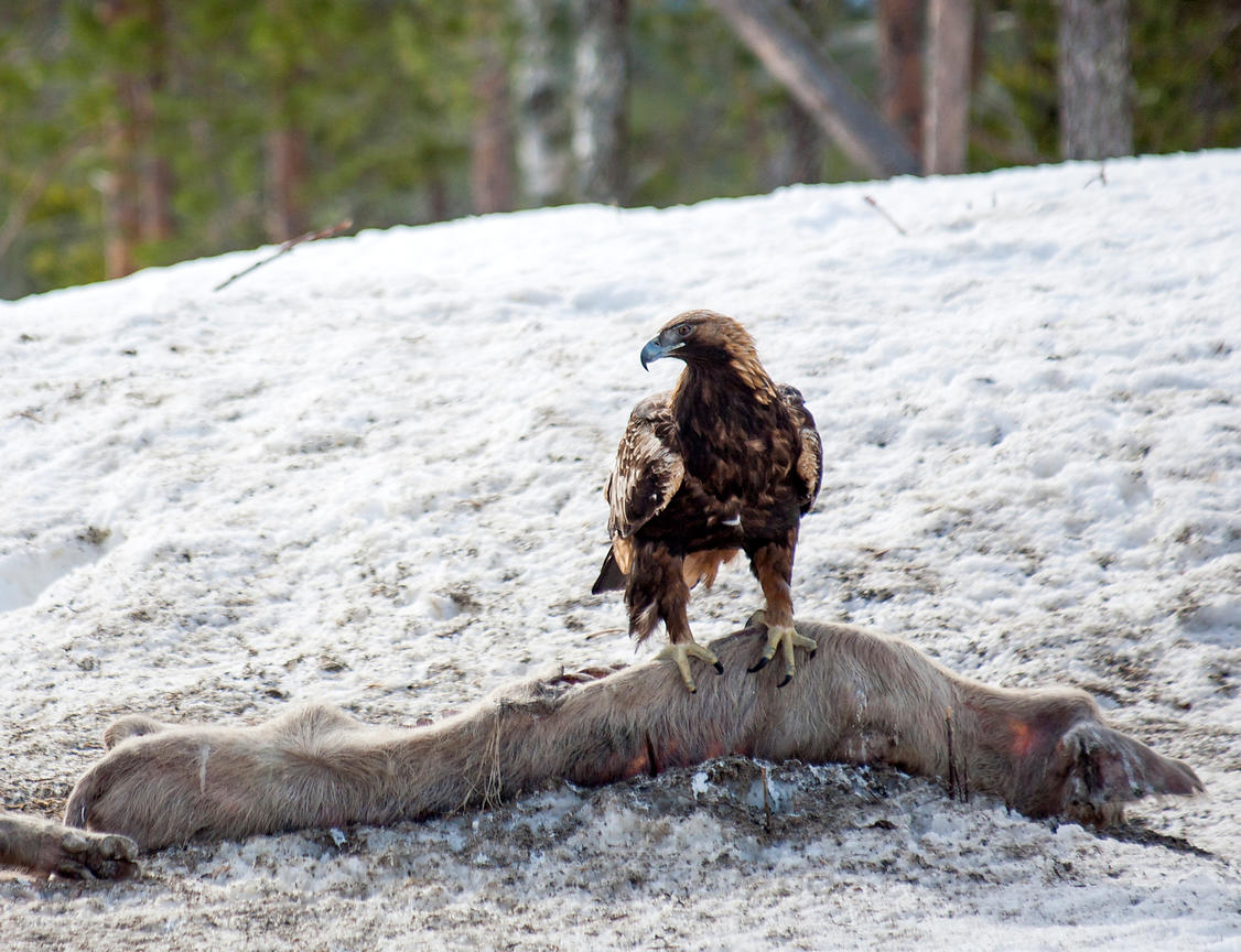 Golden Eagle on feeding place
