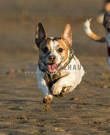 happy dog smiling running fast on the beach