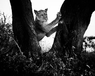 5996-Lioness_in_a_tree_Laurent_Baheux