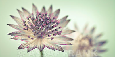 Astrantia flowers