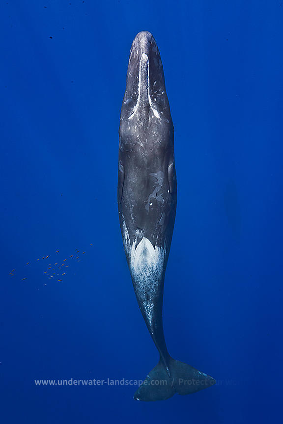 Sperm Whale picture in Mauritious