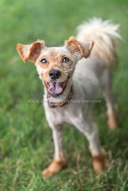 Smiling small shaved dog wearing collar standing in grass