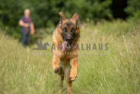 German Shepherd dog running towards camera at speed, with man in background