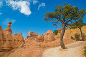 Tree On Trail Near The Top- Bryce Canyon, Utah