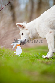 White German Shepherd Dog sniffing on wooden easter rabbit