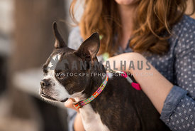 boston terrier sitting with owner
