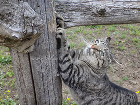 tabby cat using fence as scratching post