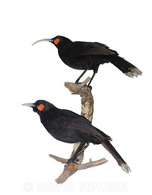 Huia Heteralocha acutirostris.  extinct species of New Zealand wattlebird, endemic to the North Island of New Zealand. The la...