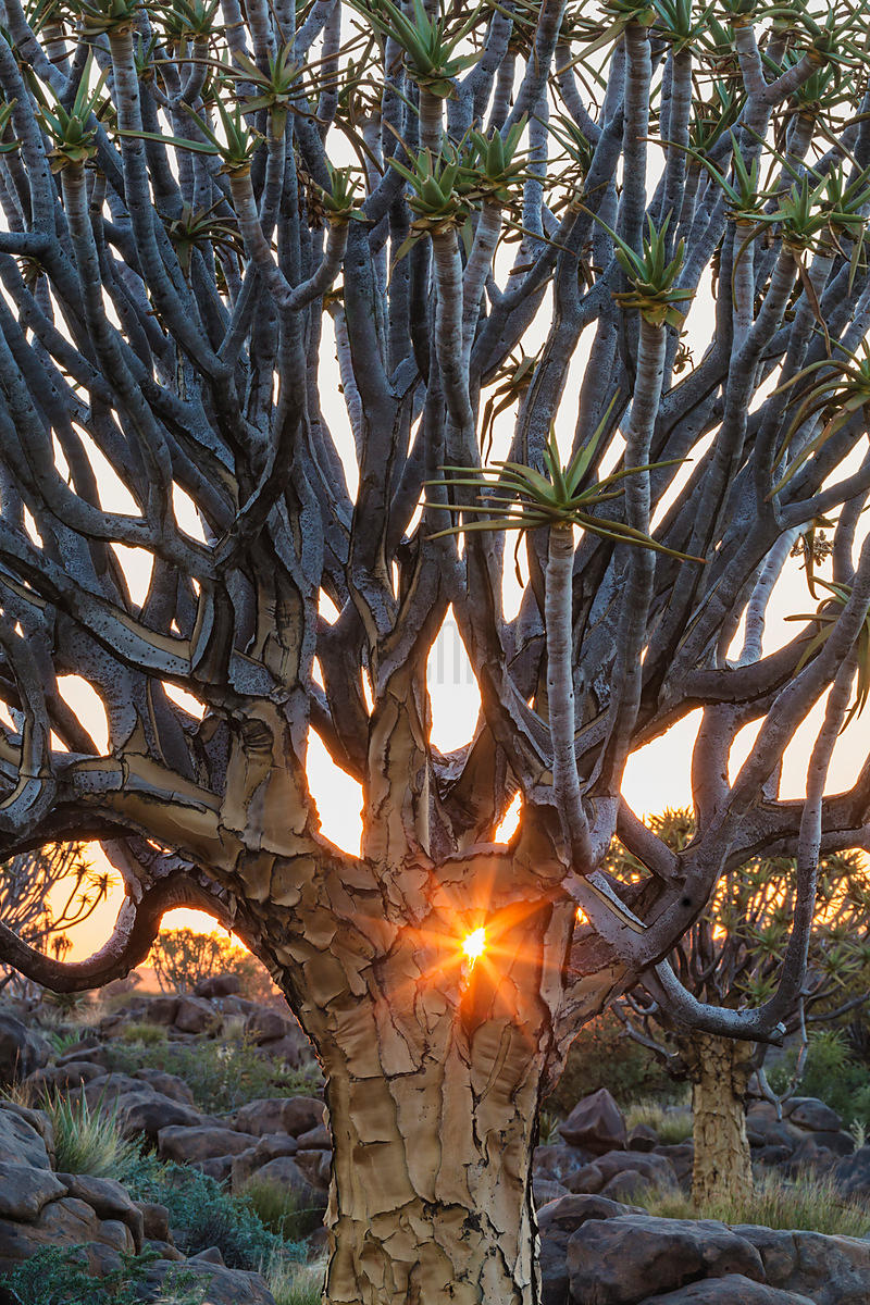 Quiver Tree Forest at Sunrise