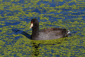 Adult Andean coot (Fulica ardesiaca) swimming in duckweed (Lemnoideae)