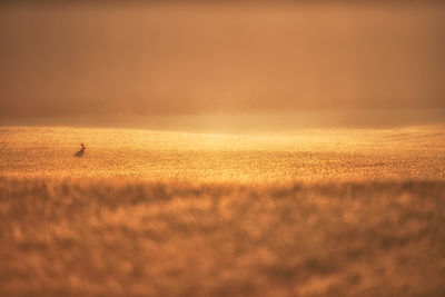 One of my favourite shots of the year, taken near Beeley and as i watched this hare dance around the crop i prayed he would s...