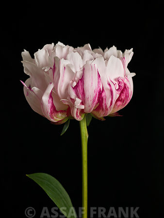 White pink Peony flower, close-up