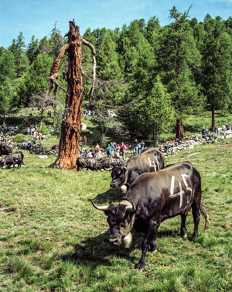 Cow fighting in Valais