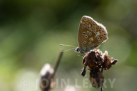 Common Blue Butterfly with parasitic Tick.