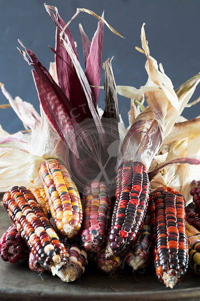Multi-coloured corn on the cob, freshly picked and ripe