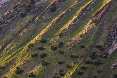 Steep mountain slope with fresh grass and scattered Dwarf mountain pine (Pinus mugo) trees, Western Tatras, Carpathian Mounta...