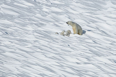 Polar bear (Ursus maritimus) mother with three young cubs, Wrangel Island, Far Eastern Russia, March.
