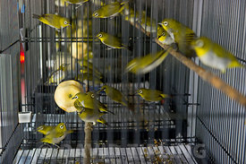 Oriental White-eye (Zosterops palpebrosus) for sale in shop in Singapore