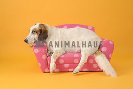 Basset hound mix on pink couch with yellow background