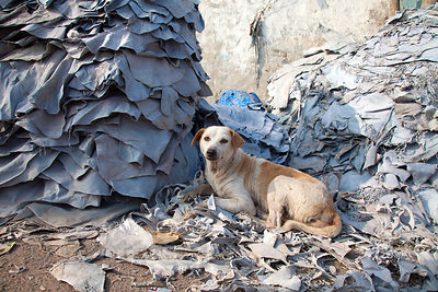 A stray dog sits in a pile of leather in the Chamrapatti slum area of Kolkata, India. Leather tanning is the predominant acti...