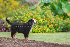 full body profile of bernese puppy standing in mulch with flowers in the background