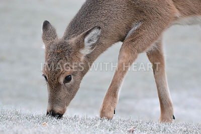 Deer Grazing on Frost Covered Grass