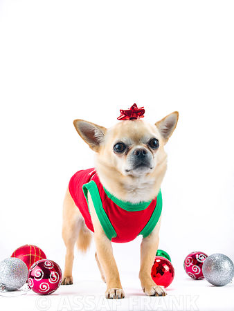 dog with christmas baubles and a