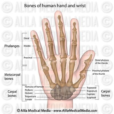 Bones of the hand labeled.
