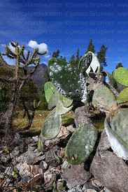 Female cochineal insects (Dactylopius coccus) on Opuntia ficus-indica or prickly pear cactus, Peru