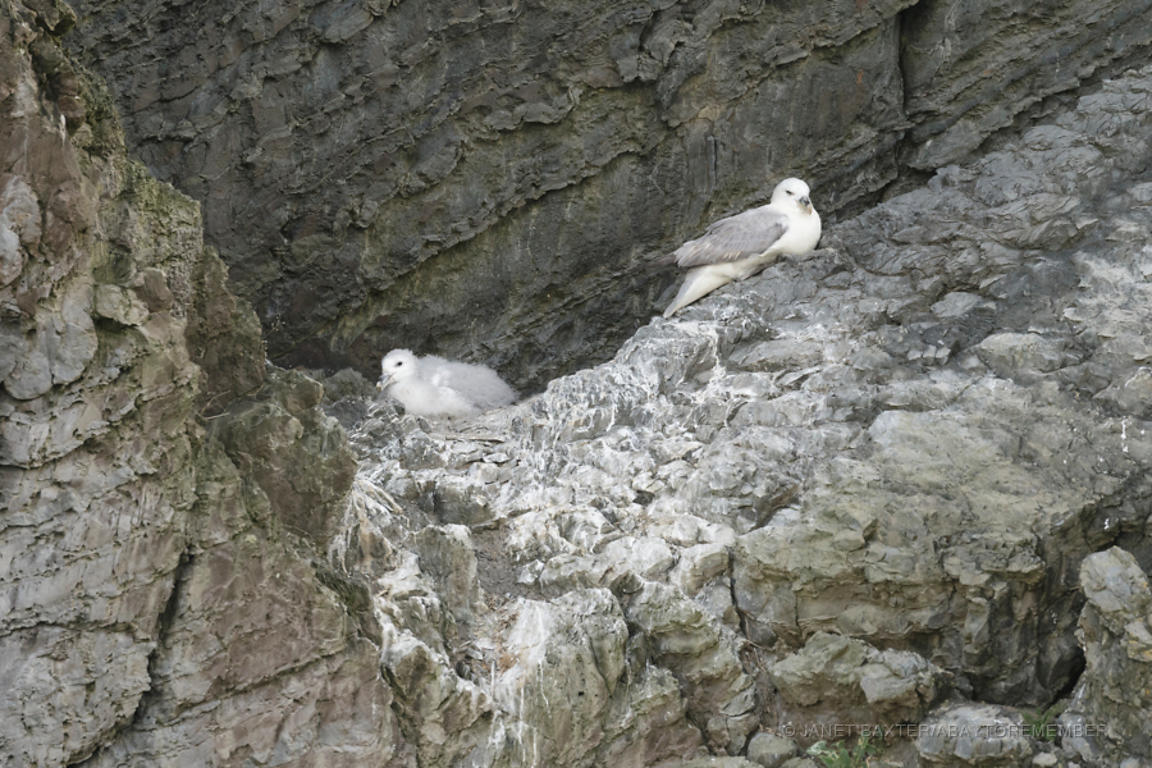 Fulmar and chick
