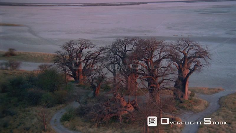 Aerial long wide angle shot group of baobab trees on edge of salt pan with land spit in background Zimbabwe