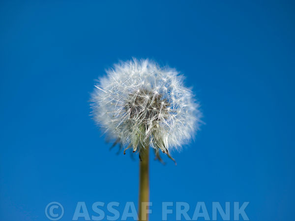 Dandelion flower against clear blue sky