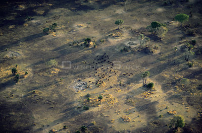 Aerial view of herd of animals (Buffalo?) in parched woodland savanna during dry season, Katavi National Park, Tanzania