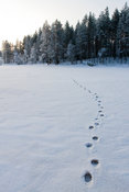 Wolverine tracks in Tiilikkajärvi National Park