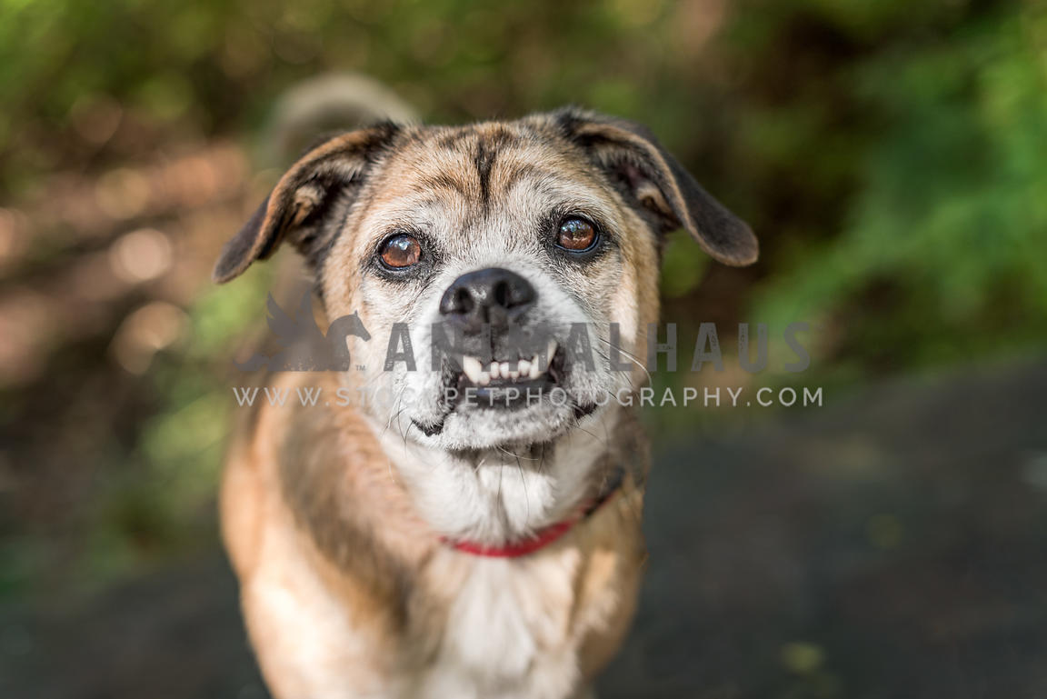 Pug mix with underbite looking at camera