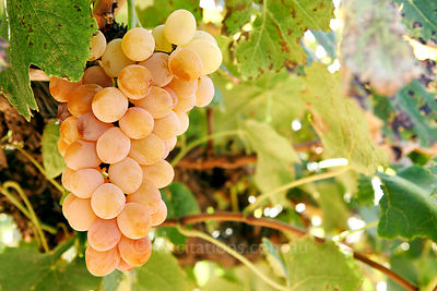 Golden Muscat, table grapes.