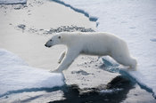 Polar bear, Ursus maritimus, jumping between floes of sea ice north of Spitsbergen, Svalbard, Arctic