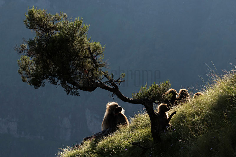 Gelada Baboons Grooming on Cliff Near Tree