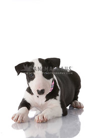 Bull Terrier puppy on white background in studio