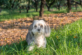 Small fluffy havanese dog in an orchard in fall in the grass