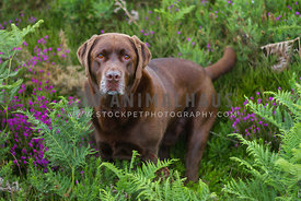 chocolate labrador sat on fern and heather