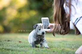 Girl taking photo of cattle dog puppy