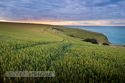 Field of wheat on the White Cliffs of Dover, Kent, England, UK.