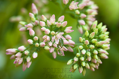 Sedum Buds with Dew