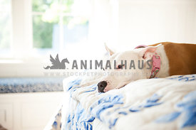 white and brown pitbull laying on a bed facing left