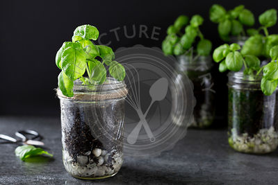 Basil Growing in Jars
