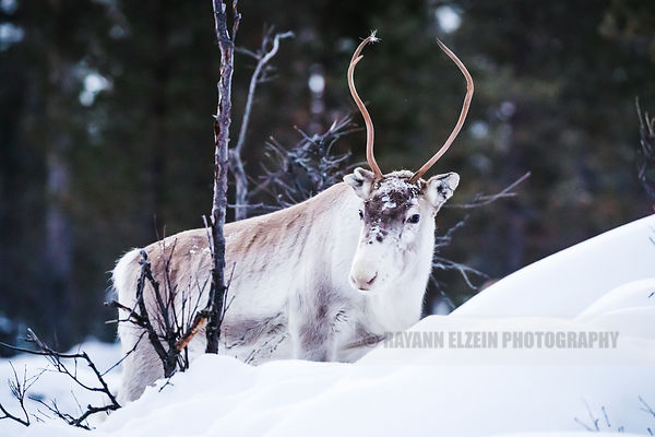 Reindeer with antler standing in the snow in Finnish Lapland