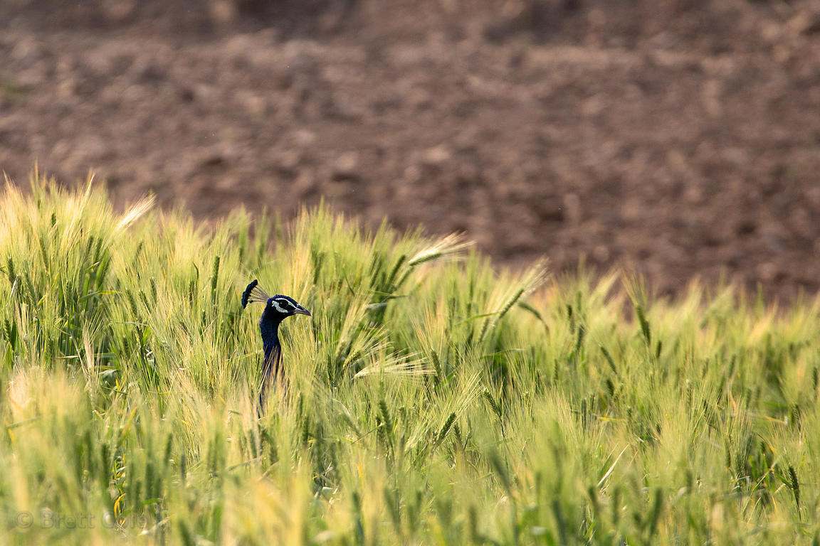 Male peacock in a chapati wheat field, Kharekhari village, Rajasthan, India